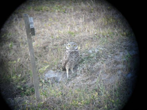 Burrowing Owl, Digiscoped