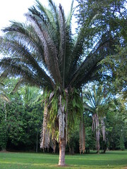 Americal oil palm