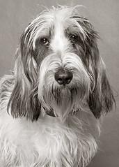 Tumbleweed (Piotr Organa) Tags: portrait bw dog pet white toronto canada black cute face animal puppy basset petit griffon pbgv vendeen aplusphoto pet500 flickrlovers
