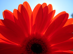 Red Flower in Sun (Silent Orchestra) Tags: red flower nature redflower silentorchestra closeupofflower laughlovehope closeupofredflower flowerwithwaterdrop flowerinsun