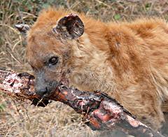 Hyena with Buffalo leg (Aimee Goold) Tags: africa park buffalo south leg national predator hyena kruger