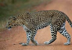 Panthera pardus (Sara-D) Tags: perfect photographer leopard srilanka yala the panthera pantherapardus pardus abigfave platinumphoto kotiya fantasticwildlife vosplusbellesphotos flickrbigcats
