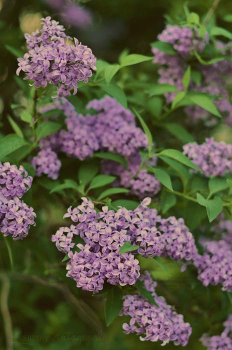 May Lilacs