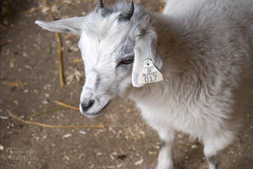 Goat_White_Pygmy2