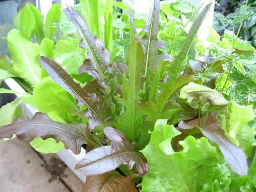 2008-02-28_lettuce.jpg