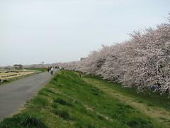 熊谷桜堤_0926