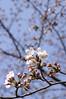 Cherry blossom, Yoyogi Park