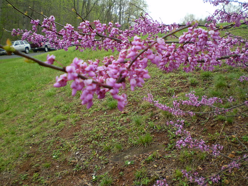 A branch of redbud