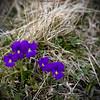 ~~ Blue nature ~~ (Julien Ratel ( Júllí Jónsson )) Tags: blue mountain flower macro nature fleur closeup montagne canon ruben bleu eos350d cyril 50mmf18 lapeyrouse blueju38 julienratel julienratel2008 lhommequiparleauxfleurs ptitesfleursviolette etcestsansalcool macrodepro cestbucolique