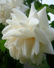 white elegance (karin_b1966) Tags: plant flower nature rose blossom natur pflanze blume blte naturephotography beautifulearth flowerphotography whiteflowersonly beautyofthenatureworld aroseaqueeninitself