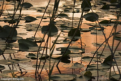 Sunset at the marsh2 (Skadar Lake) (cokanj) Tags: sunset lake reflection europe balkans montenegro waterlilly skadar colourartaward vugdelic marijavugdelic