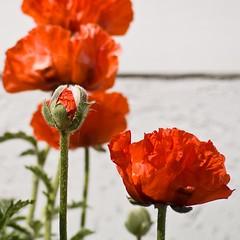 Poppies (*sputnik) Tags: red rot germany geotagged rouge rojo blossom poppy poppies sputnik rgen 2008 rosso sellin mecklenburgvorpommern mohn mohnblten ostseebadsellin rotrossorougerood geo:lat=5437726989 geo:lon=1369092156