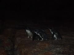 PC150013 (Blake the Black) Tags: penguin tasmania tassie bicheno