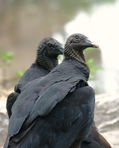 Black vulture Great falls,  Maryland, USA