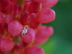 Aphid Eater (lawatha) Tags: pink white insect spider creepy lupine nomoreaphidsandthiscreepyspideriswhy evenuglycreepythingsserveapurposeisuppose