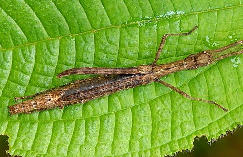 DSC_0010_Stick Insect (Asceles tanarata singapura)
