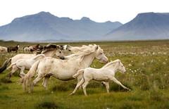 Villt..running wild in Iceland (Ggja Einars..) Tags: wild horses nature iceland spirit gorgeous running albino icelandic foals icelandichorse hestur icelandichorses mywinners hesturinn slenski