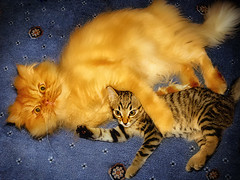 G&M-Friendship (E.L.A) Tags: family friends orange pet pets cute nature animal horizontal cat turkey fur photography persian orangecat kitten feline funny europe friendship tabby fulllength kittens nopeople indoors domesticanimals garfield ankara domesticcat gettyimages persiancat garfi capitalcities misket colorimage lookingatcamera twoanimals highangleview animalthemes lyingonside bestcatphotos differentcatbreeds