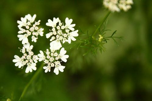 Coriander blossums
