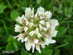 witte klaver/ Trifolium repens (wandelgraaf(mostly off)) Tags: naturelovers