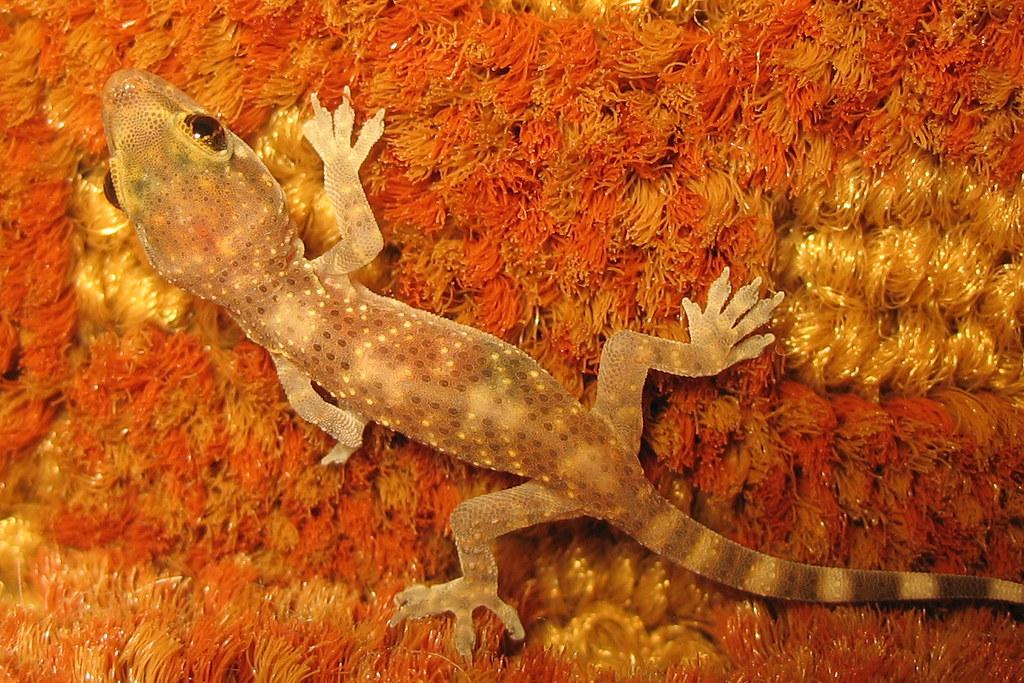 Tiny mediterranean gecko