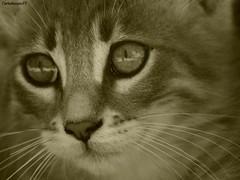 Il gatto (CarloAlessioCozzolino) Tags: cat poetry rosa poesia gatto charlesbaudelaire blueribbonwinner mywinners bestofcats impressedbeauty ilgatto goldstaraward flickrunitedaward