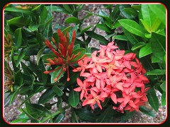 Ixora coccinea 'Dwarf Red' (Jungle Flame/Geranium, Flame of the Woods, Needle Flower)