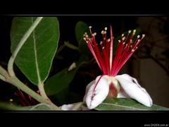 Fuegos artificiales (DrGEN) Tags: santa red white santafe flower macro blanco argentina rojo fireworks flor rosario fe fuegosartificiales ceres fuegos feijoa artificiales aplusphoto drgen