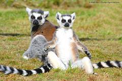 Oooooooooooooommmmmmmm....:O)) (law_keven) Tags: fab england animals kent furry lemur lemurs furryfriday winghamwildlifepark peachofashot