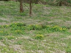 Populage des marais (L'herbier en photos) Tags: belgique marais ranunculaceae lige wallonie caltha kingcup palustris palustre marchin condroz renonculaces calta populage triffoys