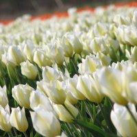 Tulip Purissima