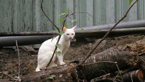 65.路上巧遇的白貓