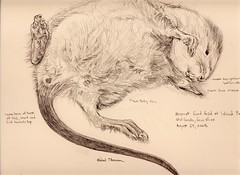 Muskrat (Artist Naturalist-Mike Sherman) Tags: detail fauna illustration pencil dead rodent drawing michigan wildlife graphite muskrat mtpleasant naturalist islandpark ondatrazibethicus