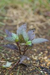 黒っぽい葉のトウガラシ