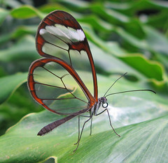 Greta Oto (Glasswing) - David Lee Tiller