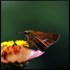 lunch of the butterfly (HASSELBLAD 500C/M) (potopoto53age) Tags: plant flower 6x6 film japan zeiss butterfly insect t lunch hasselblad velvia epson fujifilm extension zinnia yamanashi planar kofu rvp 80mm 500cm hassel carlzeiss hasselblad500cm naturesfinest fujichromevelvia100 mywinners abigfave platinumphoto colorphotoaward aplusphoto infinestyle diamondclassphotographer carlzeissplanar80mmf28t theunforgettablepictures theunforgettablepicture platinumheartaward goldstaraward epsongtx970 gtx970 hesperiaflorindaandzinnia lunchofthebutterfly hesperiaflorinda