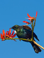 Tui (omakiwi) Tags: new blue red white bird feather zealand