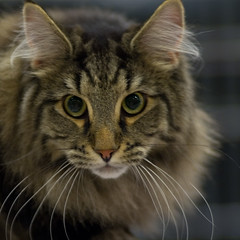 Maine Coon (peter_hasselbom) Tags: portrait cats face cat mainecoon catshow cc100 cc1000