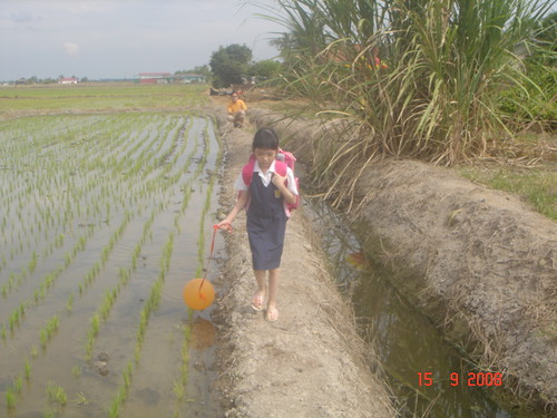 Crossing the paddy field as I watch