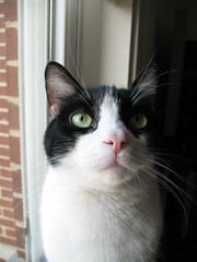 Oliver Looking Up (Mr.TinDC) Tags: cats pets animals oliver tuxedocats kitties felines moggy blackandwhitecats blackwhitecats kissablekat