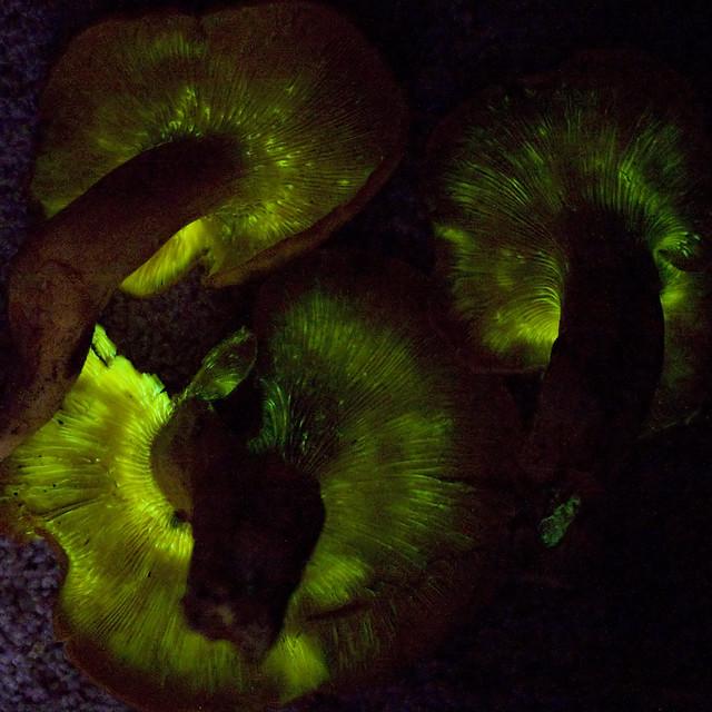 Jack-O-Lantern Mushroom Glowing (Omphalotus olearius)
