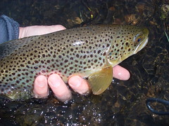 Autumn Splendor (jewelsbuddy) Tags: county autumn brown fish fall forest river fly fishing pennsylvania pa national trophy warren flyfishing trout allegheny kinzua browntrout anf