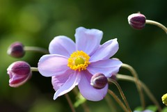 /Anemone hupehensis var. japonica (nobuflickr) Tags: flower macro nature japan kyoto searchthebest excellence iloveit naturesfinest anemonehupehensisvarjaponica platinumphoto anawesomeshot citrit overtheexcellence goldstaraward explorewinnersoftheworld wonderfulworldofflowers rubyphotographer