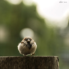 tiny dancer (moggierocket) Tags: berlin green bird ball log dancing bokeh small fluff sparrow eltonjohn tiny tapdancing tapping 500x500 impressedbeauty 70300vr winner500