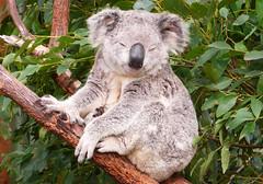Drunken Koala? Sydney, AU