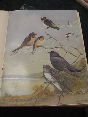 Barn swallow, cliff swallow and purple martins