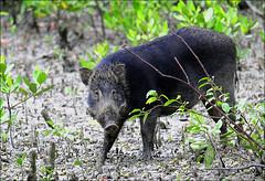 Wild Boar (Z.Faisal) Tags: wild black green nature station river dark nikon nikkor boar bangladesh bangla faisal desh wildboar d300 zamir khulna sundarban zamiruddin zamiruddinfaisal kalagachi kholpetua ttlsafari kalagachistation kholpetuariver zfaisal