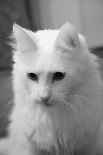 Utax - Turkish Angora