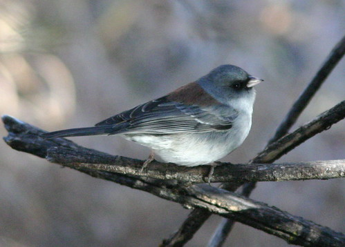 Gray-headed Dark-eyed Junco (Junco hyemalis )