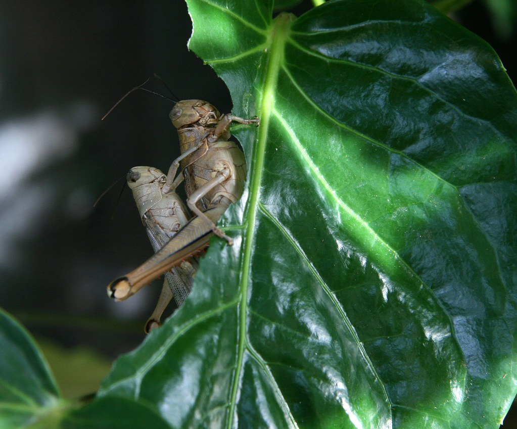Giant Grasshoppers munching